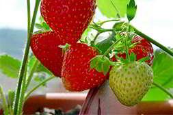 Домашняя ягодница быстро созревает