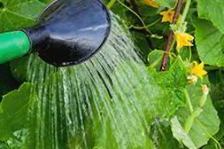 Мини ферму огурцы достаточно просто поливать